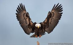 bald eagle pictures | Eagle a moment before touch down, Kachemak Bay Alaska.