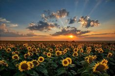 Magnificent sunset over a sunflower field. Sunflower Field Landscape Wall Art apart of The Pixoto Collection, by Evgeni Ivanov from Great Big Canvas. Vintage Nature Photography, Nature Photography Flowers, Sunset Photography, Winter Photography, Landscape Photography, Photography Aesthetic, Flowers Nature, Family Photography, Photography Ideas