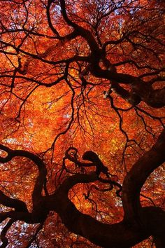 Love these inspirational fall colors. Eloquence - Color Nature Photography, red orange yellow autumn fall leaves leaf maple tree twisted tree trunk by WildEarthElements - need this for my house Fall Photos, Nature Photos, Fall Pictures, Halloween Pictures, Beautiful World, Beautiful Places, Foto Nature, Twisted Tree, Wow Art