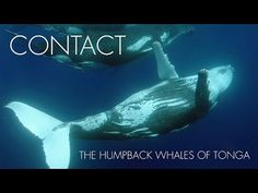 Footage of humpback whales (Megaptera novaeangliae) from the Kingdom of Tonga in the south Pacific ocean.  Humpback whales are a type of baleen whale. In the winter months this southern population of whales migrates north to Tonga, where they give birth to calves and mate.  The early shots in the video are young male humpback whales. Later we see a mother and her young calf.