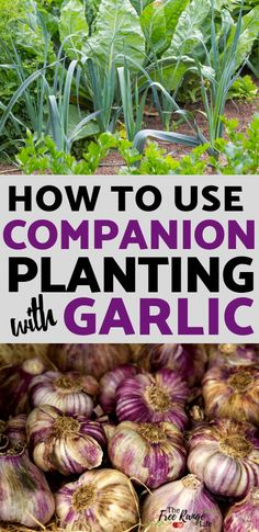Garlic is great to plant in your garden! Learn which crops are the best garlic companion plants to increase garden harvest, reduce pests, & improve flavor. Planting Garlic, Planting Vegetables, Organic Vegetables, Planting Seeds, Growing Vegetables, Vegetable Gardening, How To Plant Garlic, Veggie Gardens, Growing Tomatoes