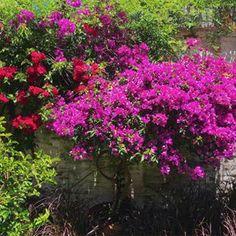 Buganvillas florecidas  buganvilla floreslindas flores floresrojas floresvioletas santarita bouganvillea veranera trinitarias