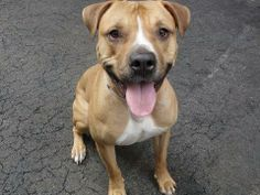 "TO BE DESTROYED - SATURDAY - 4/5/14  Manhattan Center   TIMMY A0994740 Neutered male tan/white pit mix 3 YEARS old. 3/24/14  Volunteer says "" Looking for a jogging partner? Look no further,Timmy is waiting to meet you! With a wagging tail, sparkling eyes and a big smile Timmy is an energetic boy ready to play. Takes treats gently, sits on command, house trained.  He's got a ton of great energy, looking for an active family for whom daily long walks and active play time are on the 'to do'…"