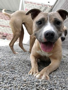 What do you do when you read a news story that claims pit bulls make up only 5 percent of the dog population but account for a third or even half of the dog bite related fatalities? Where did these numbers come from, and are they accurate? Here, we examine the truth behind these commonly quoted studies and what the other side is leaving out.