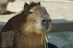 Feeling Scared, Brush My Teeth, Capybara, Like A Lion, Animal Facts, Large Animals, The Other Side, Stay Safe
