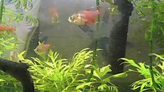 29 gallon planted aquarium