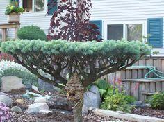 для ниваки выбираем здоровое сильное растение, которое выдержит обрезку