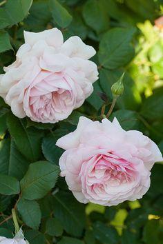 ~'A Shropshire Lad' climbing rose