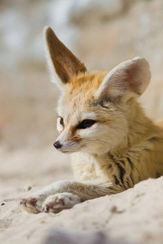 ayustar:    _W9H8723 Fennec fox by asbimages.co.uk on Flickr.