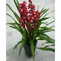 50 Sementes Orquídea Cymbidium Flores Bonsai Jardim Terraço
