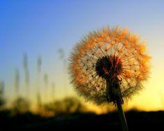 Dandelion Sillhouette -