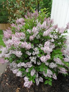 Miss Kim Lilac Bush Posted May 2011 by Bev is part of Flowering bushes - Landscaping Shrubs, Garden Shrubs, Shade Garden, Lawn And Garden, Garden Plants, House Plants, Flowering Bushes, Lilac Bushes, Small Shrubs