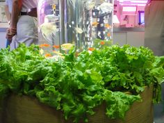 Teijin Shoji's Aquaponics Fish Tank Grows Fresh Vegetables Indoors Read more: N. Indoor Aquaponics, Aquaponics Fish, Indoor Vegetable Gardening, Organic Gardening, Fresh Vegetables, Growing Vegetables, Eco Architecture, Hydroponics System, Plant Growth
