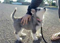 The Cute Husky