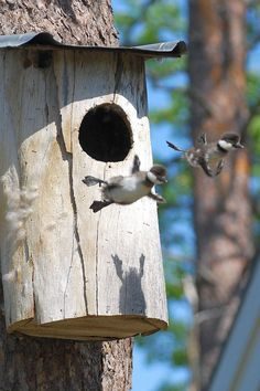 Two baby common Goldeneye ducks leaving the nest and taking to the air for their first ever flight.