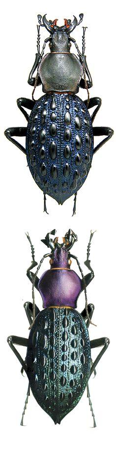 Coptolabrus pustulifer