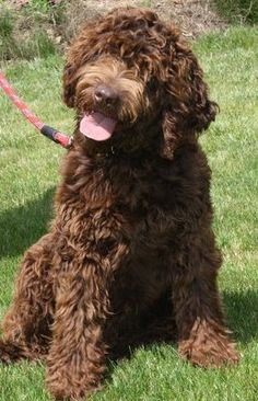 Chocolate #Labradoodle