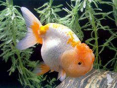 Bubble head goldfish