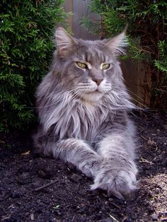 Great grey Maine coon