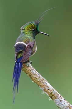 Stunning! Wire-crested Thorntail Male Hummingbird - Ecuador