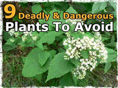 Be VERY careful foraging - do NOT eat wild plants unless you're CERTAIN - you know what you're picking & eating - 9 Deadly & Dangerous Plants To Avoid Deadly Plants, Poisonous Plants, Poisonous Mushrooms, Edible Wild Plants, Plant Identification, Living Off The Land, Wild Edibles, Medicinal Plants, Herbal Plants
