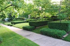 interesting use of boxwood hedges with sycamore trees.