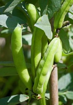 Broad beans - Lottie's favourite vegetable - she eats them raw