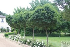 Robinia Mop Top. Nursery and Grower of quality Advanced trees, Mature trees and Hedging – Winter Hill Tree Farm