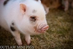 I see spots. @ Outlaw Mini Pigs 208-755-6106  http://www.outlawminipigs.com/