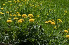 From Coughs to Colds, These Common Backyard Weeds Offer a Medicinal Boost