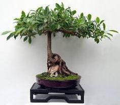 ficus bonsai - Buscar con Google