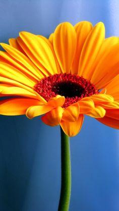 Beautiful Orange Gerbera Daisy