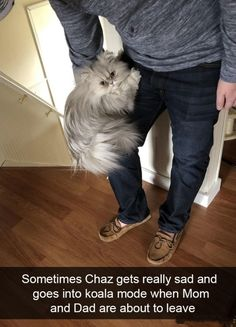 Funny, Cat, Snapchats: Sometimes Chaz gets really sad and goes into koala mode when Mom and Dad are about to leave