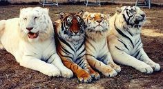 The world never stops amazing me. Left to right: Liger, Bengal Tiger, Tigon, Siberian Tiger. Ain't they Pretty!!