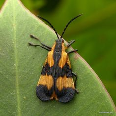, Chrysomelidae, Cassidinae mimicking a Net-winged beetle, Lycidae Leaf Beetle, Bugs And Insects, Ecuador, Moth, Butterflies, Wings, Leaves, Beetles, Animals