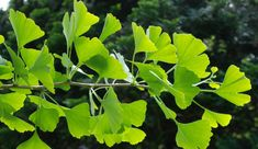 "If you're interested in longevity, look to Gingko Biloba, whose very existence today as a ""living fossil"" speaks volumes to its ability to survive. Ginko Tree, Green Leaves, Plant Leaves, Maidenhair Tree, Ginkgo, Limpieza Natural, Living Fossil, Hiroshima, Nagasaki"