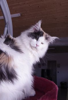 Elaiza of Baydar  Black Tortie Smoke Harlequin Maine Coon Devil's Shadow Maine Coons #mainecoon #cat