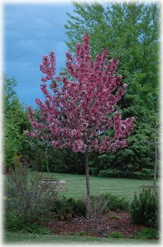Find Rudolph Flowering Crab (Malus 'Rudolph') in Edmonton St Albert Sherwood Park Stony Plain Alberta AB at Millcreek Nursery Ltd (Roseybloom, Crabapple) Deciduous Trees, Trees And Shrubs, Types Of Soil, Small Trees, Flower Photos, Red Flowers, Landscape, Plants, Outdoor Ideas