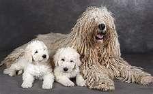 Komodor with puppies