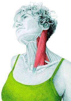 Шея. Растягивает так называемые кивательные мышцы, или грудинно-ключично-сосцевидные мышцы.