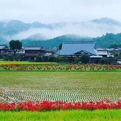 Рисовые поля в конце сентября - в серебряный сезон цветения лучистых ликорисов. Сейчас же в Японии самое время любоваться зеркалами заливных рисовых терасс только-только размечаемых точками рисовой рассады. #мидокоро #сентябрь #рис #рисовыеполя #япония