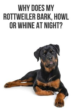 If your Rottweiler is very vocal and noisy, you're probably wondering why and what you can do about it. This post will show you a number of possible reasons why it is being vocal and what you can Rottweiler Facts, Rottweiler Training, Rottweiler Puppies, Chihuahua Dogs, Pet Dogs, Dogs And Puppies, Pets, Shelter Dogs, Animal Shelter