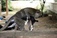 Una scimmia adotta un gattino in Indonesia