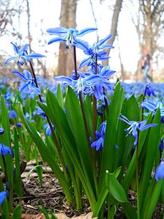 Siberian Squill (scilla sibirica) - plant in the lawn. Deer resistant. Blooms late winter-early spring.