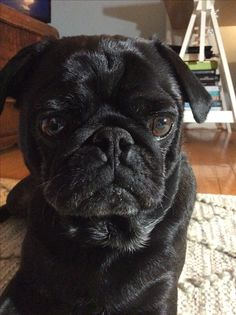 Our sweet Linkin the little black pug!