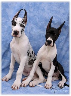 The Exact Two Great Dane Pups I want! Their Names Would be Riot and Ramsay!!