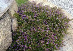 planta forração falsa érica fácil de cuidar 6