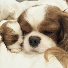 cavalier king charles spaniel puppies cuddled up together - Google Search