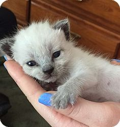 Los Alamitos, CA - Siamese. Meet Lizzie Kitty, a kitten for adoption. http://www.adoptapet.com/pet/12835912-los-alamitos-california-kitten