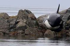 People Spent Hours Keeping A Beached Orca Cool In Order To Save Its Life